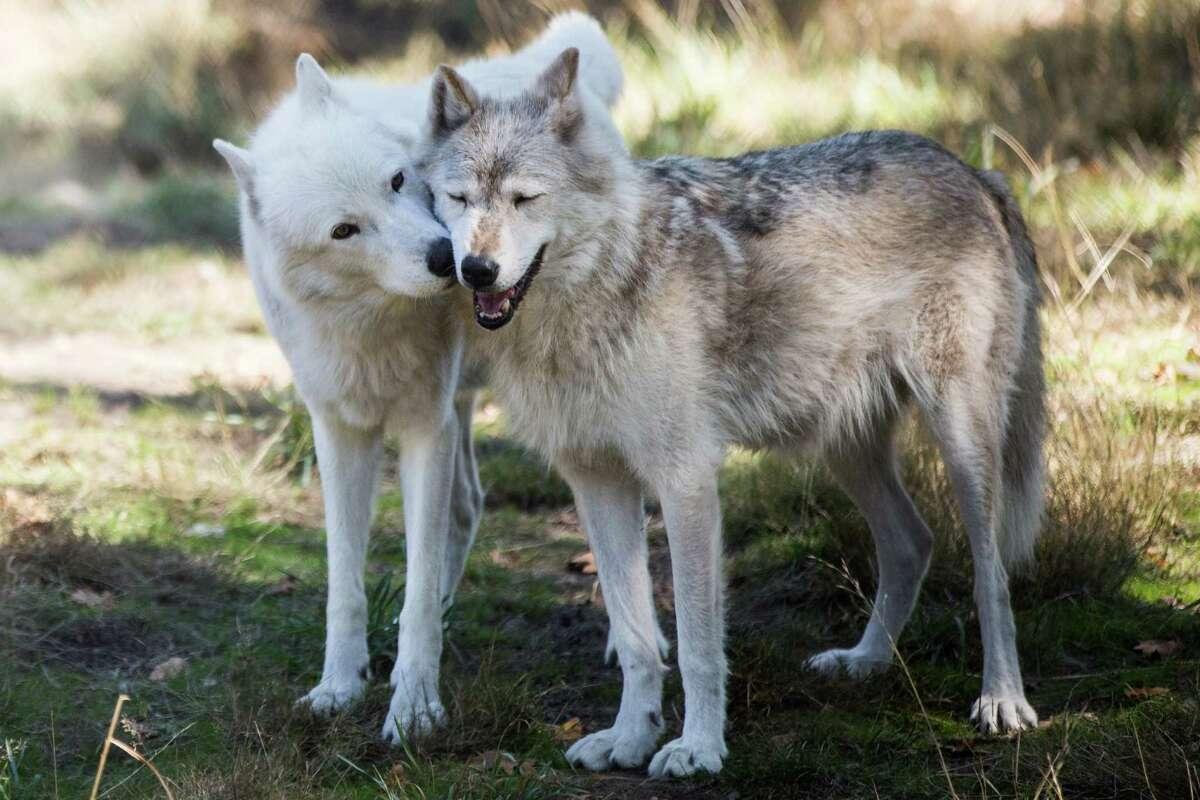 London kisses habitat mate Lexi, both gray wolves, at Wolf Haven International in Tenino, Washington on Tuesday, Sept. 13, 2016.