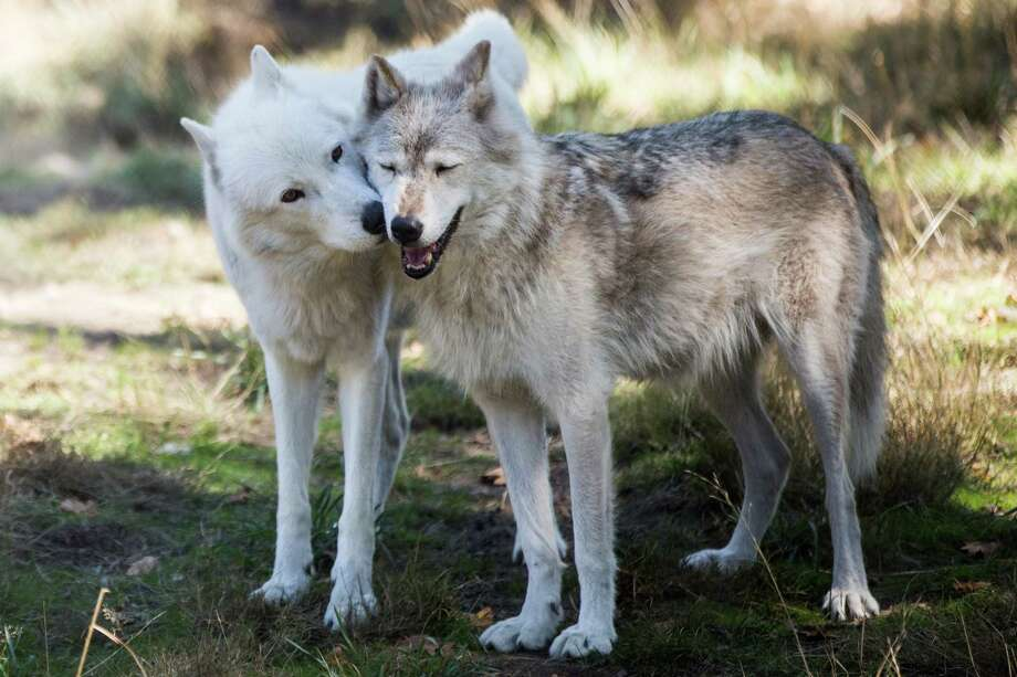 London kisses habitat mate Lexi, both gray wolves, at Wolf Haven International in Tenino, Washington on Tuesday, Sept. 13, 2016. Photo: GRANT HINDSLEY, SEATTLEPI.COM / SEATTLEPI.COM