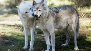 London kisses habitat mate Lexi, both gray wolves, at Wolf Haven International in Tenino, Wash. on Tuesday, Sept. 13, 2016.