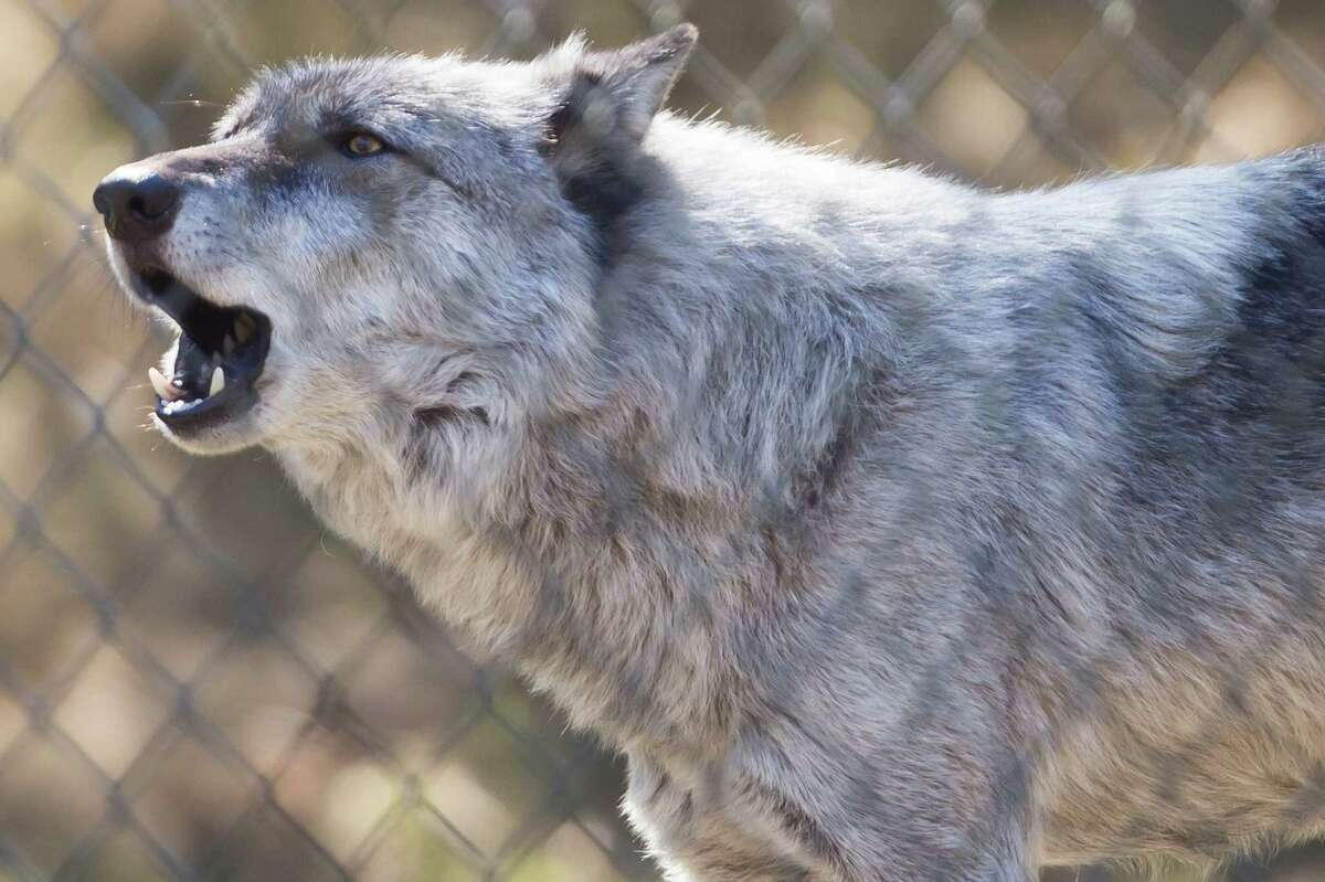 Gray wolf Shadow howls.