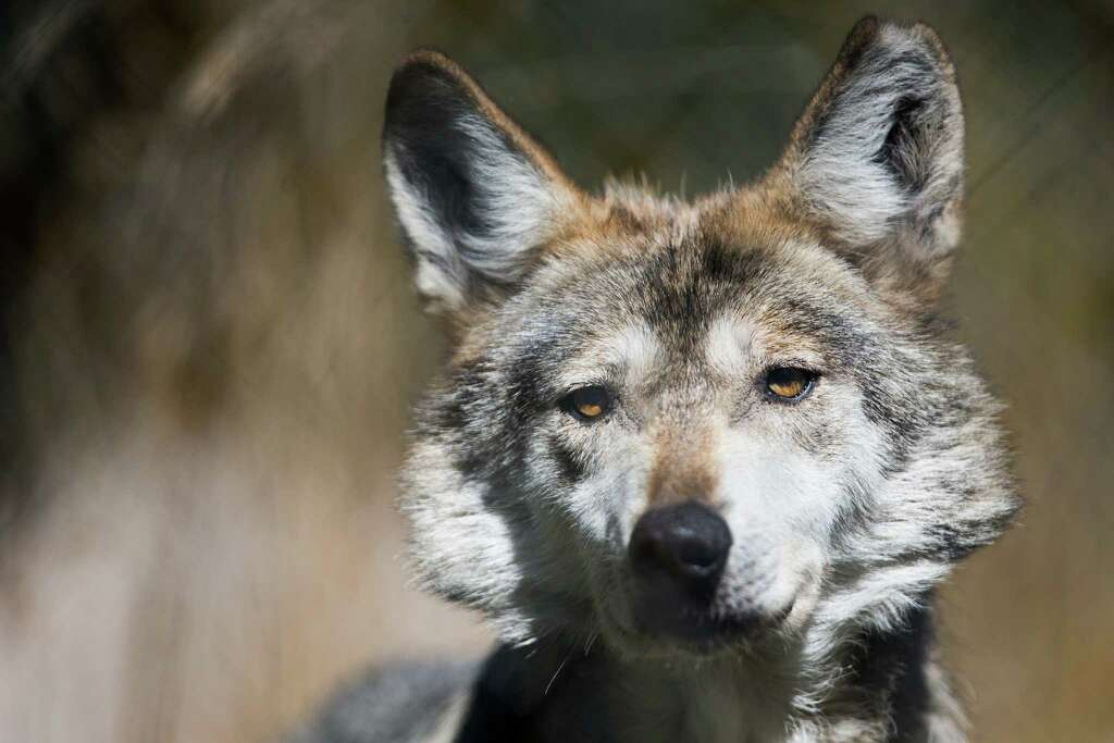 Gypsy, a female Mexican gray wolf, squints in the hot sun. Photo: GRANT HINDSLEY, SEATTLEPI.COM / SEATTLEPI.COM