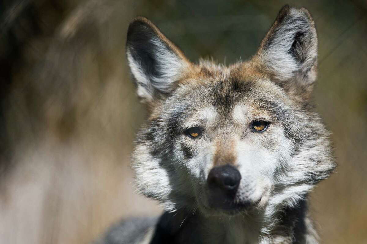 Gypsy, a female Mexican gray wolf, squints in the hot sun.