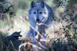 Lexi, a gray wolf, watches a tour move past while hidden between bushes and shrubbery at Wolf Haven International in Tenino, Wash. on Tuesday, Sept. 13, 2016.