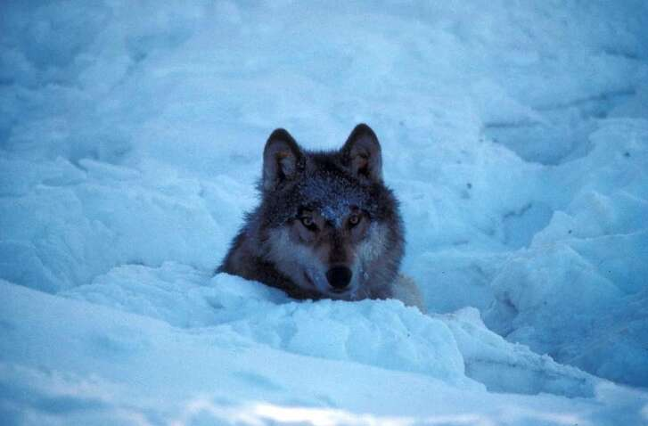 A wolf observes his surroundings in Kenai National Wildlife Refuge in Alaska.(U.S. Fish and Wildlife Service)