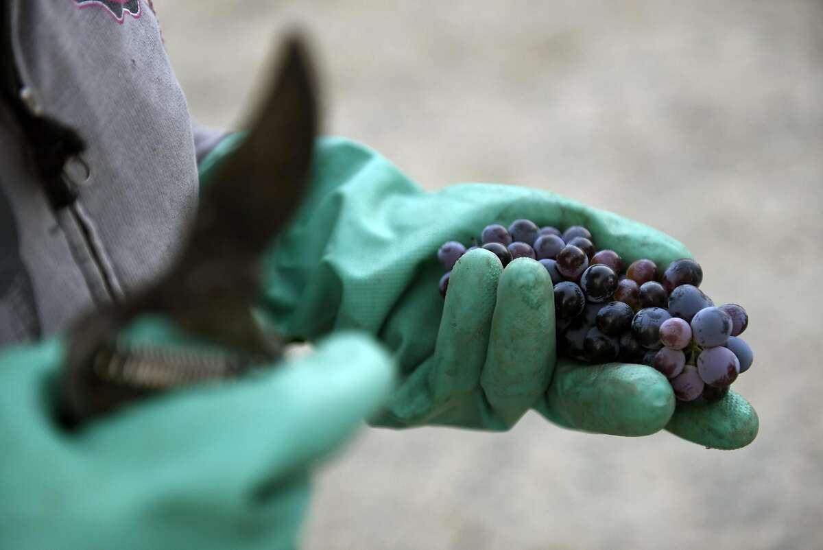 Nancy Kirchhoff holds a bunch of carignane grapes during harvest at the family's vineyard in Clarksburg, CA Thursday, September 10, 2016.