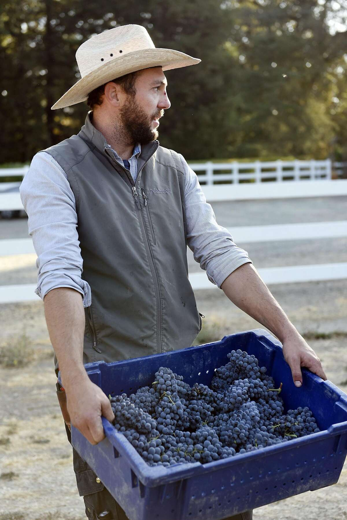 Winemaker Clayton Kirchhoff carries a basket of freshly picked carignane grapes during a harvest at the Kirchhoff family's vineyard in Clarksburg, CA Thursday, September 10, 2016.