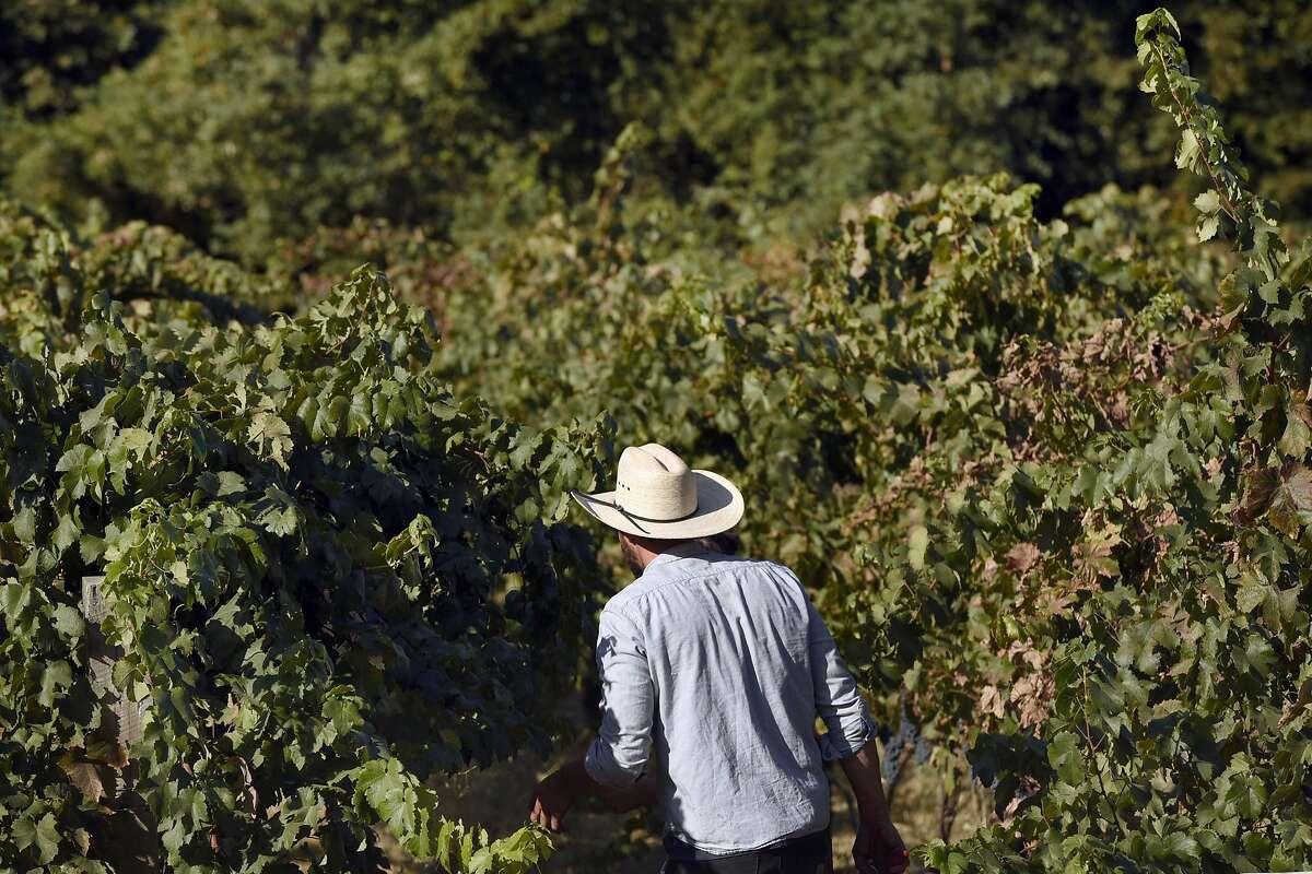 Winemaker Clayton Kirchhoff heads back into the vines during a harvest at the Kirchhoff family's vineyard in Clarksburg, CA Thursday, September 10, 2016.