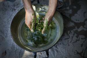 "A Thai Malay Muslim drug user breaks up the kratom leaf into a pan to form part of a popular cheap narcotic drink called 4 x 100 on September 1, 2011 in Narwathiwat, southern Thailand. Translated as "" sii khun roi,"" 4 x 100  is a mix of the illegal kratom leaf, cough syrup and Coca-Cola with added ingredients like tranquilizers and marijuana."