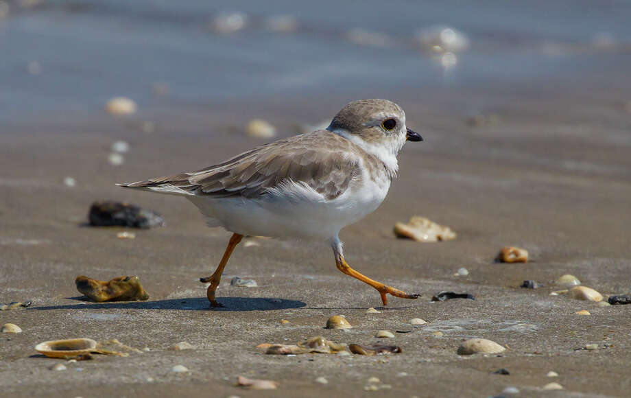 Piping plovers and other migratory birds have been protected by the MBTA since 1918. Photo: Kathy Adams Clark / Kathy Adams Clark/KAC Productions