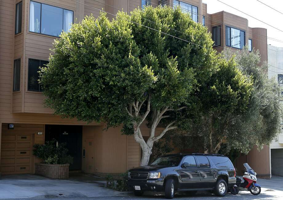 A mature ficus tree grows on Fillmore Street in San Francisco, Calif. on Saturday, Sept. 17, 2016. Photo: Paul Chinn, The Chronicle