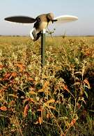 """Texas dove hunters could see some of their best-quality hunting from mid-October through early November, when migrant doves flock into fields of ripening croton and gorge on the native """"doveweed"""" seeds."""