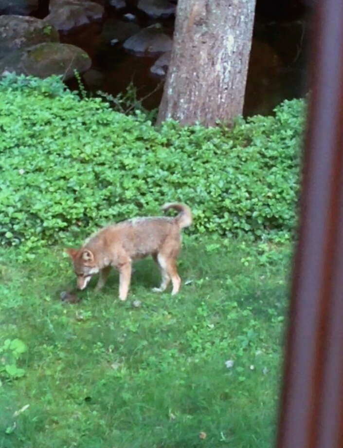 This coyote was recently photographed in the back yard of a Somerset Lane home in Stamford. Photo: Jeff Northcutt / Contributed
