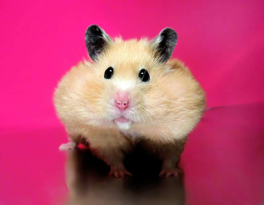 A non-emergency caller in Northumbria, England, requested that police stop his ex from overfeeding his pet hamster. It's not the only frivolous call the force has received recently. Click to see some others. Photo: Getty Images