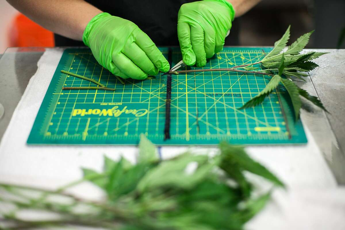 Cannabis at an Oakland cannabis business, on Monday, Sept. 19, 2016 in Oakland, Calif. The business is seeking city permits, so it can operate legally under California's new marijuana laws.