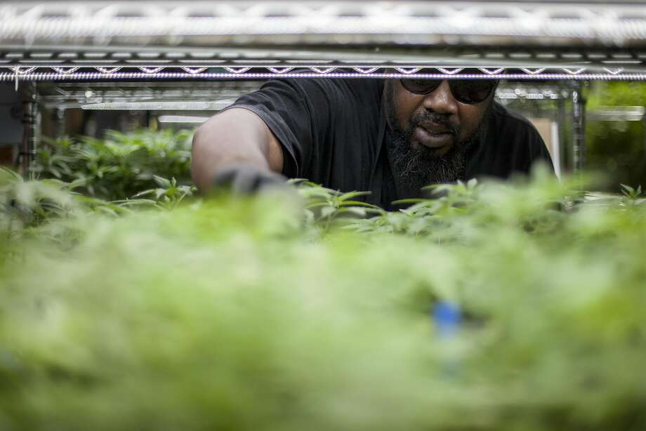 An employee of a cannabis business in Oakland tends to the growing plants. Photo: Santiago Mejia, Special To The Chronicle
