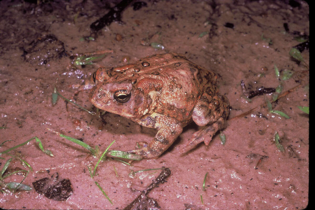 Only 2,000 Houston Toads are left in the wild after drought and urbanization destroyed its habitat.