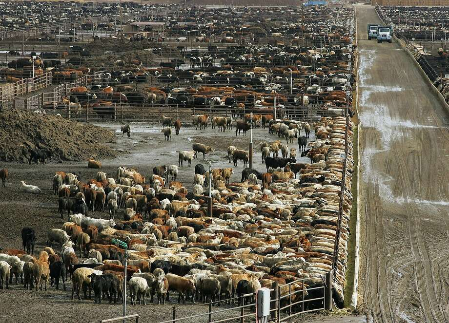 FILE - In this Jan. 25, 2008 file photo, cattle are shown on Harris Ranch farms  in Coalinga, Calif. Harris Ranch is a fully integrated beef operation. The company gets cattle from several ranchers, has its own trucks for transport, and the cattle finish off their days in the Coalinga lot before going to company processing plants to become fresh cuts, ready made meals and meat for restaurants from Alaska to Minnesota.  (AP Photo/Gary Kazanjian, File) Photo: Gary Kazanjian, ASSOCIATED PRESS