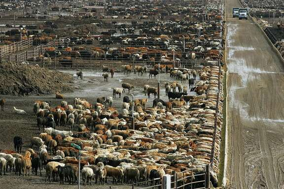 FILE - In this Jan. 25, 2008 file photo, cattle are shown on Harris Ranch farms  in Coalinga, Calif. Harris Ranch is a fully integrated beef operation. The company gets cattle from several ranchers, has its own trucks for transport, and the cattle finish off their days in the Coalinga lot before going to company processing plants to become fresh cuts, ready made meals and meat for restaurants from Alaska to Minnesota.  (AP Photo/Gary Kazanjian, File)