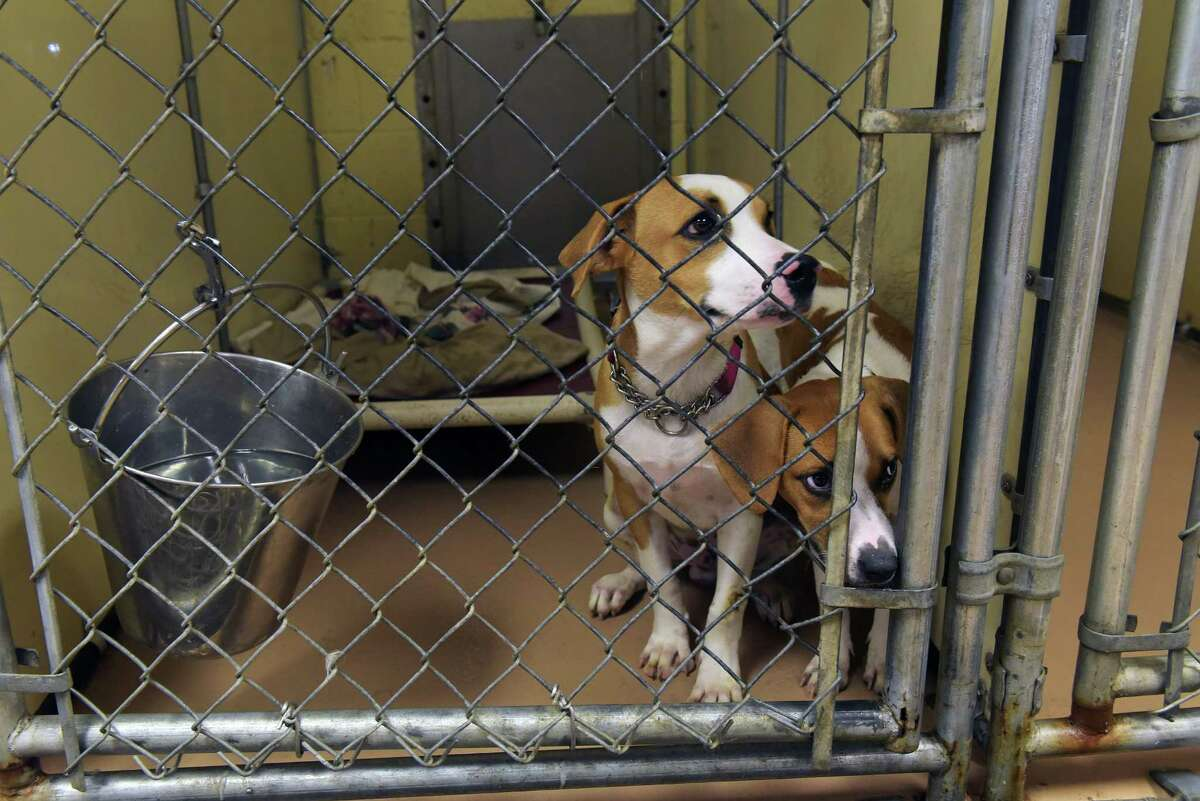 Two dogs look out of their kennel inside the current facility at the Mohawk Hudson Humane Society on Monday, Sept. 20, 2016, in Menands, N.Y. The shelter held a groundbreaking ceremony on Tuesday for the new 35,000 square foot, state-of-the-art shelter, animal care and education facility that will be built next to the current facility. (Paul Buckowski / Times Union)