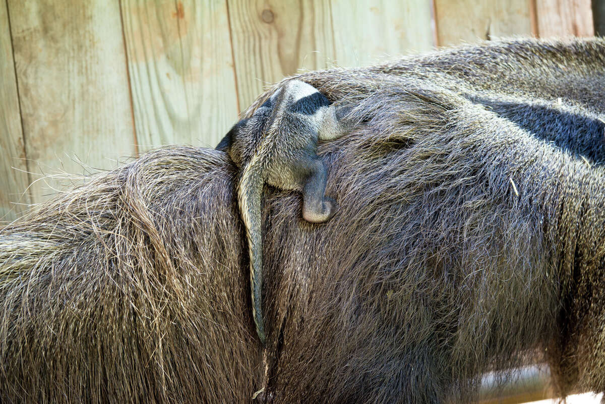 On Tuesday, Sept. 20, 2016, the Houston Zoo was showing off its newborn anteater. Rio is a 2-week-old giant anteater pup, born to parents Olive and Pablo on Sept. 3. The sex of the baby is still unknown.