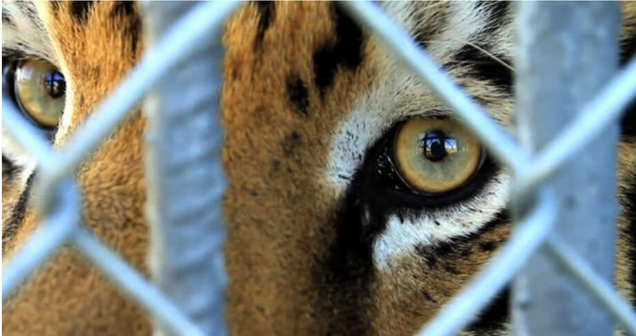 Tony, a Bengal tiger living at a truck stop in Grosse Tete, LA, peers out of his cage. Photo: Tiger Truck Stop