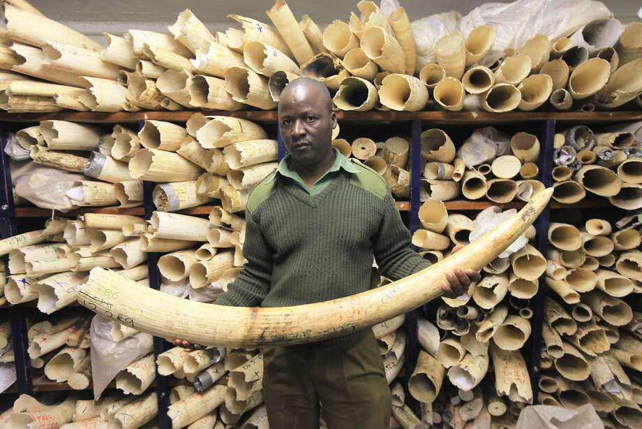 A Zimbabwe parks official takes inventory of the nation's ivory stockpile in the capital, Harare. Photo: Tsvangirayi Mukwazhi, Associated Press