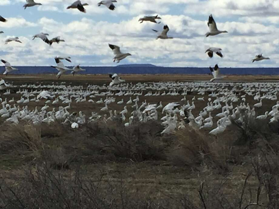 Geese make a stopover on farm lands near Malheur National Wildlife Refuge near Burns, Ore., which provides critical habitat for migratory birds. Photo: Hal Bernton, Associated Press