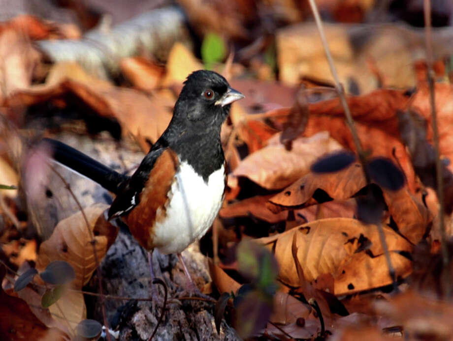 Leaves make for colorful surroundings as an Eastern Towhee searches for food on the ground. Photo: By Chris Bosak / Hearst Connecticut Media / The News-Times