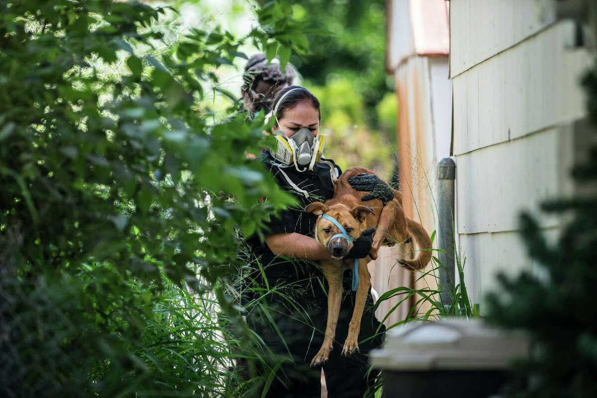 San Antonio Animal Care Services officer Victoria Smith removes a dog from a house in Southwest San Antonio on Wednesday, September 21, 2016. Lisa Norwood of San Antonio's Animal Care Services said that they removed 54 animalsÐincluding 43 dogs, cats, and a parrotÐin total from the house in the 8000 block of Big Creek Drive on the Southwest side of San Antonio. They also found and removed four dogs that were inside of a refrigerator. The home's owner, Jacqueline Paniagua, said that she had been keeping the dogs as a foster owner but that the service center she was receiving animals from stopped responding to her calls and providing assistance. She left the animals in the care of someone else while she was away for two weeks recently and returned once she received a call from the city's animal services.