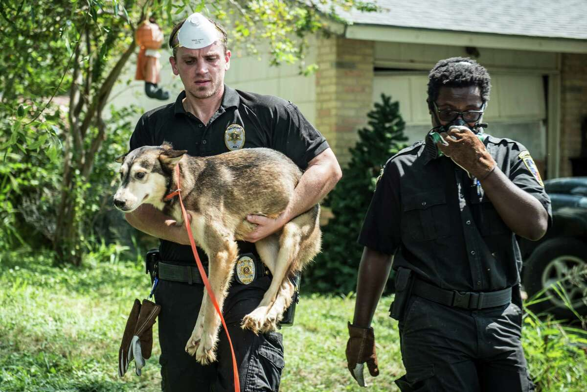 San Antonio Animal Care Services field supervisor Joel Skidmore, left, and Dexture Pettit Jr. right, remove a dog from a house in Southwest San Antonio on Wednesday, September 21, 2016. Lisa Norwood of San Antonio's Animal Care Services said that they removed 54 animalsÐincluding 43 dogs, cats, and a parrotÐin total from the house in the 8000 block of Big Creek Drive on the Southwest side of San Antonio. They also found and removed four dogs that were inside of a refrigerator. The home's owner, Jacqueline Paniagua, said that she had been keeping the dogs as a foster owner but that the service center she was receiving animals from stopped responding to her calls and providing assistance. She left the animals in the care of someone else while she was away for two weeks recently and returned once she received a call from the city's animal services.
