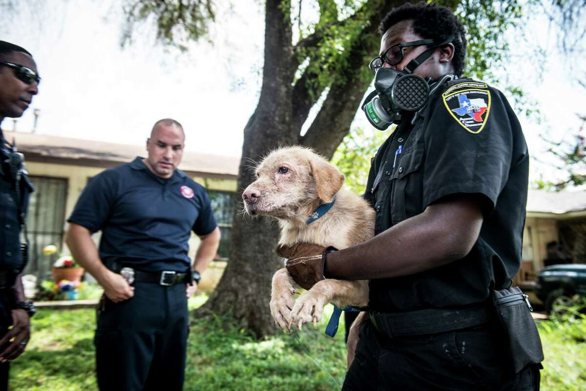 San Antonio Animal Care Services officer Dexture Pettit Jr. right, removes a dog from a house in Southwest San Antonio on Wednesday, September 21, 2016. Lisa Norwood of San Antonio's Animal Care Services said that they removed 54 animalsÐincluding 43 dogs, cats, and a parrotÐin total from the house in the 8000 block of Big Creek Drive on the Southwest side of San Antonio. They also found and removed four dogs that were inside of a refrigerator. The home's owner, Jacqueline Paniagua, said that she had been keeping the dogs as a foster owner but that the service center she was receiving animals from stopped responding to her calls and providing assistance. She left the animals in the care of someone else while she was away for two weeks recently and returned once she received a call from the city's animal services.