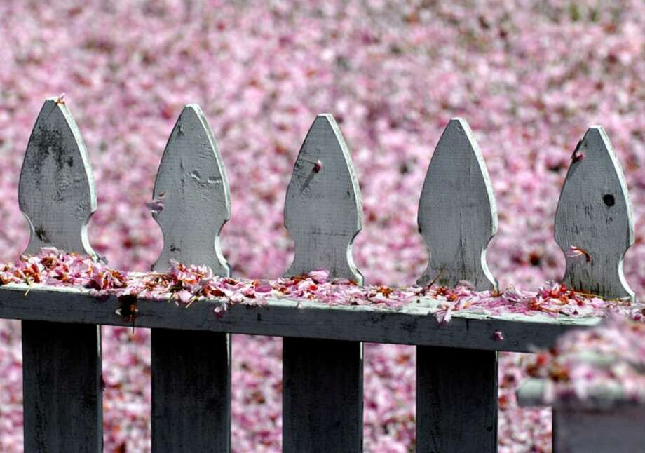 Flowers from a Kwanzan Cherry Tree cover a white picket fence and lawn like a pink snow, on the corner of Louden Street in Byram, Tuesday afternoon, April 27, 2010.  The Kwanzan trees in Greenwich started to surrender a majority of their flowers to a gusty spring wind. Photo: Bob Luckey / Greenwich Time