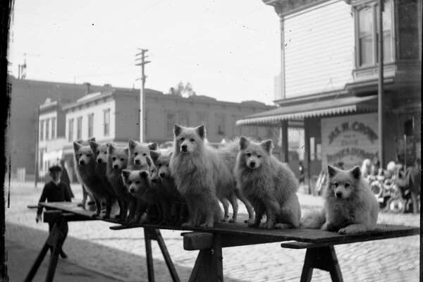 Polk and Hayes circa 1905. 11 dogs posed on a plank in the street, James W. Crowe Liquors at 100 Hayes.Courtesy of  OpenSFHistory.org .