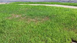 It's not uncommon to find bermuda grass growing in St. Augustine  lawns. If St. Augustine gets stressed, bermuda is happy to step in.