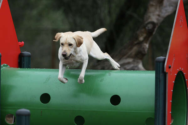 While Bailey the lab wasn't too keen on jumping through hoops at McAllister Park's dog park, he did manage to clear the top of a tunnel there.