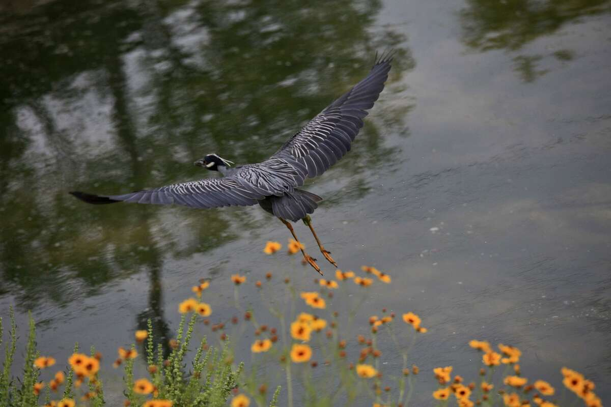 metro - A Yellow Crown Night Heron flies above the San Antonio River within the Mission Reach Ecosystem Restoration and Recreation Project area in San Antonio on Wednesday, April 20, 2011. LISA KRANTZ/lkrantz@express-news.net