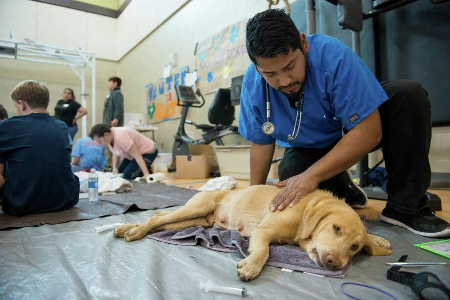 Volunteer Fabian Lara attends to a dog waking up from undergoing anesthesia during surgery at the San Antonio Fire Academy in San Antonio on March 5. Photo: Express-News File Photo / © 2016 Matthew Busch