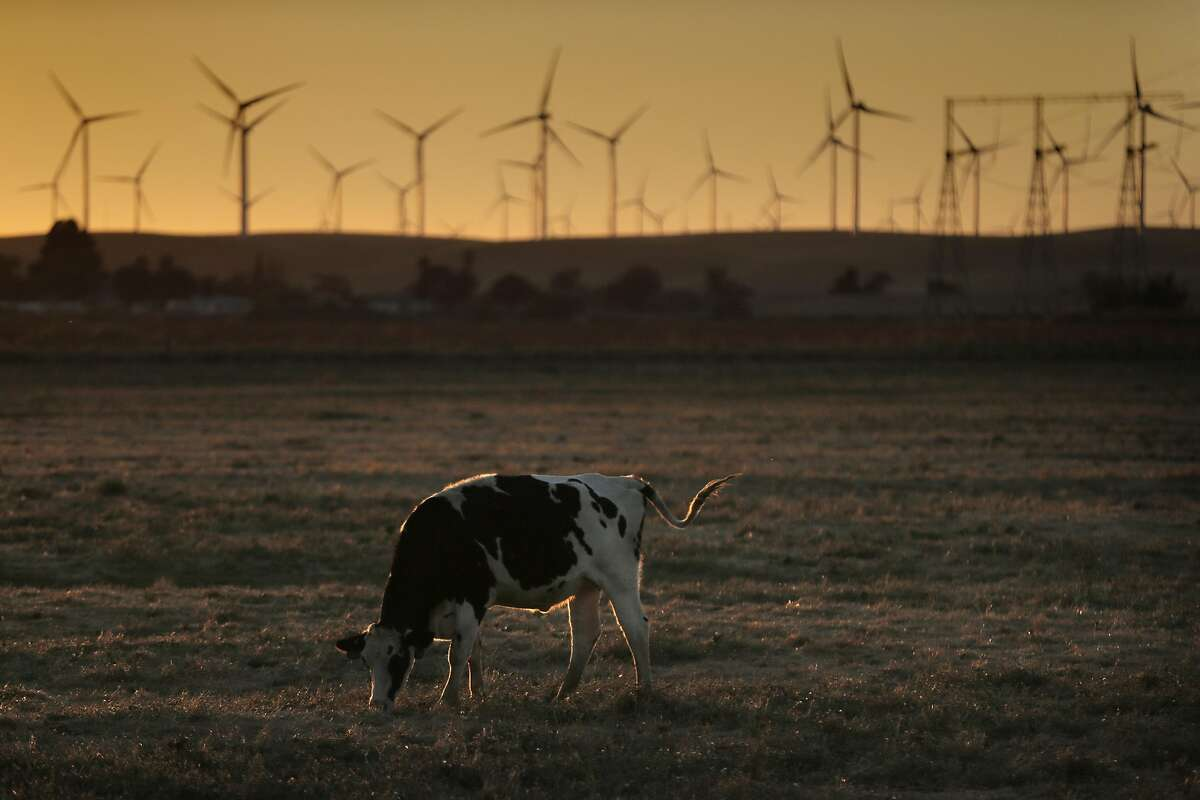 A cow grazes near wind turbines of the Shiloh Wind Power Plant in the delta area outside Rio Vista, Calif., on Wednesday, September 21, 2016. The region has hundreds of wind turbines that generate power for the state.