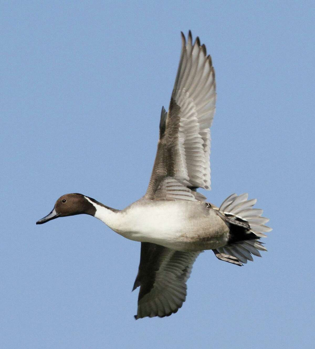 Strong North American duck and goose populations and good habitat conditions in most of Texas bode well.