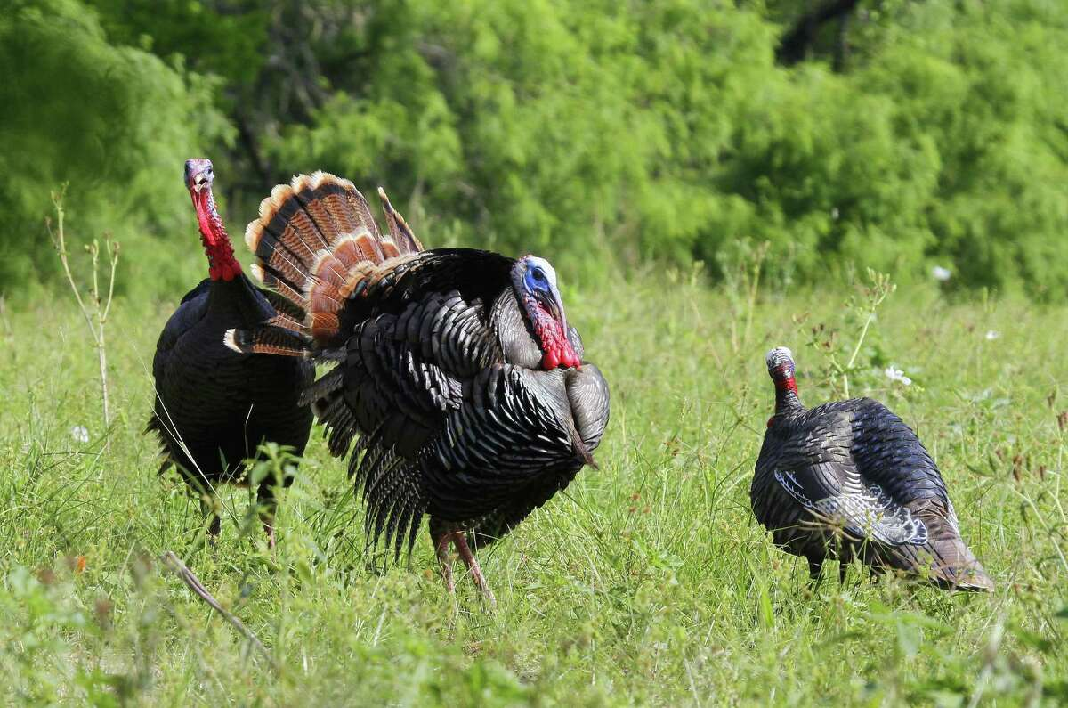 Great hatches the past two years mean Texas turkey hunters should enjoy good success this autumn and spring seasons.