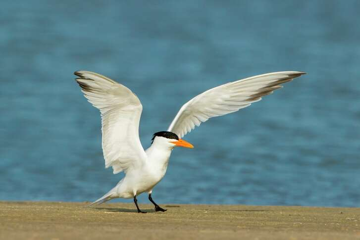 Royal Tern landing on beach, Texas coast