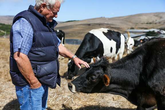 Bob Giacomini, owner of Point Reyes Farmstead Cheese Company greets his cows on the farm, in Marin, California, on Thursday, Sept. 22, 2016.