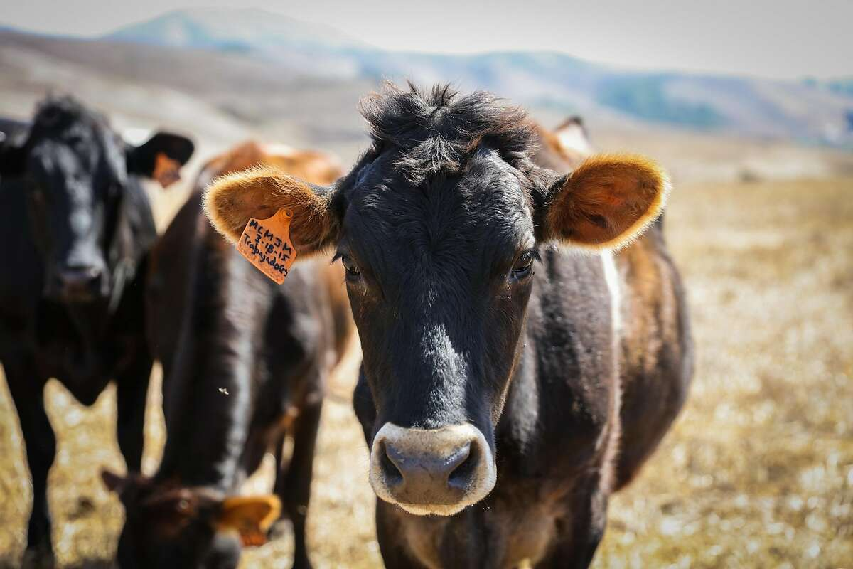 A cow is seen while out grazing at Point Reyes Farmstead Cheese Company, in Marin, California, on Thursday, Sept. 22, 2016.