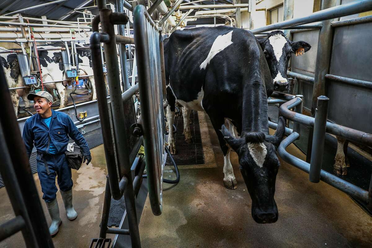 Worker Mario Garcia milks cows at Point Reyes Farmstead Cheese Company, in Marin, California, on Thursday, Sept. 22, 2016.