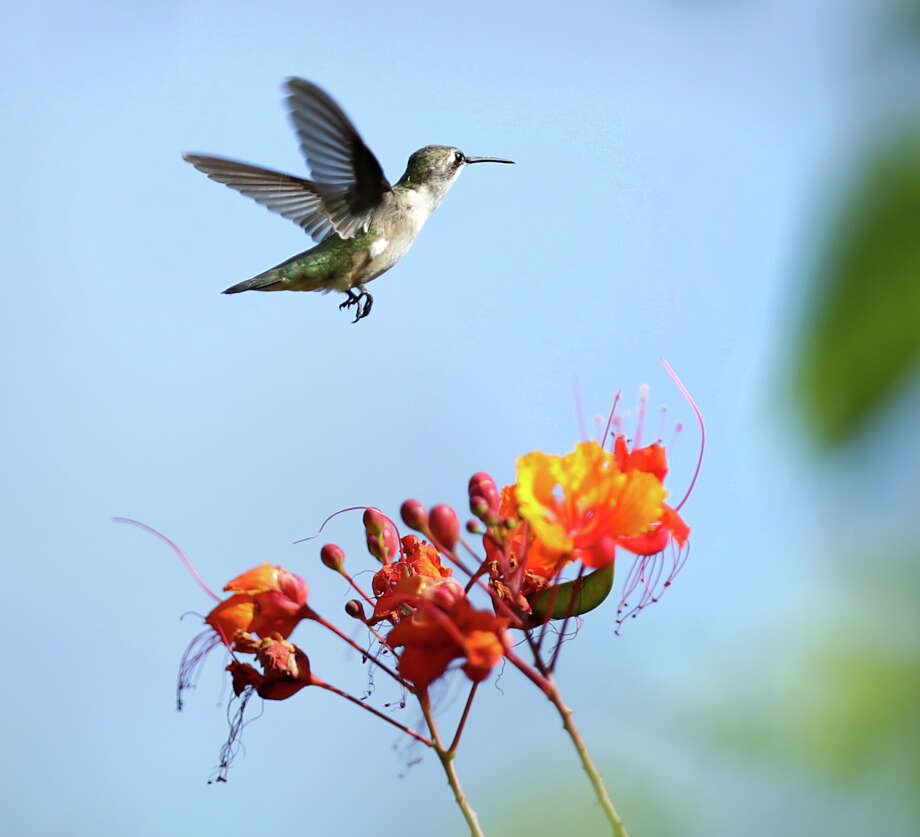 Hummingbirds are drawn to flowering bushes, like this one near a Pride of Barbados, and feeders at Mitchell Lake Audubon Center. Photo: Bob Owen /San Antonio Express-News / San Antonio Express-News