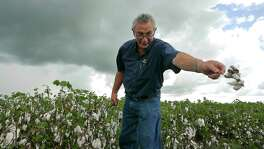 "United Agricultural Cooperative General Manager Jimmy Roppolo examines cotton damaged by rain in El Campo. ""I see producers that have been in production the 31 years that I've been here that might not be able to farm next year,"" he says."