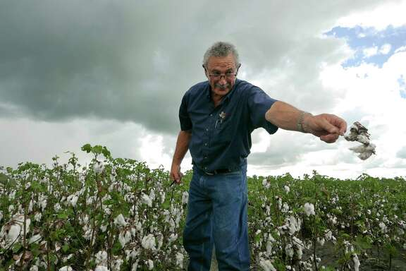 """United Agricultural Cooperative General Manager Jimmy Roppolo examines cotton damaged by rain in El Campo. """"I see producers that have been in production the 31 years that I've been here that might not be able to farm next year,"""" he says."""