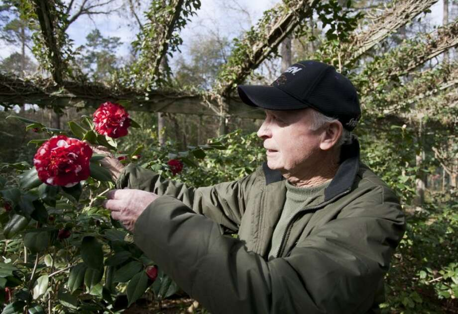 Thomas Weeks displays one of his camellia blooms at his home in Conroe.