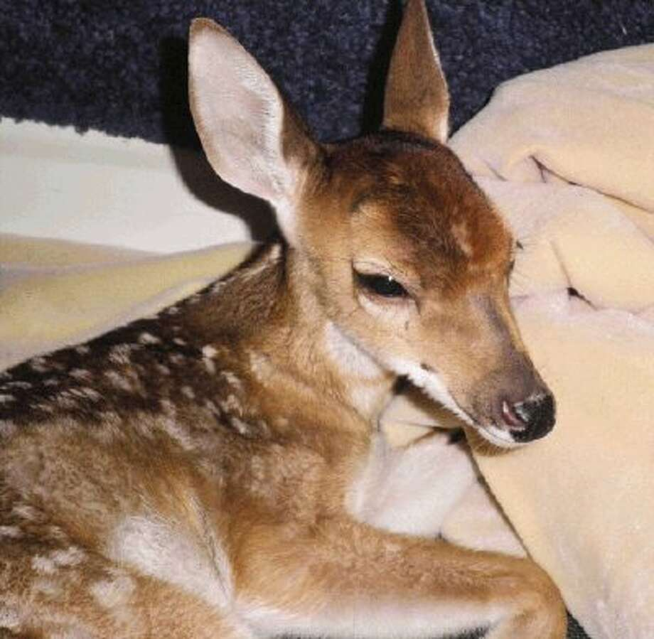 Trained volunteers with Friends of Texas Wildlife helped save and rehabilitate this 1-month-old white tail deer fawn suffering from malnutrition and exposure.