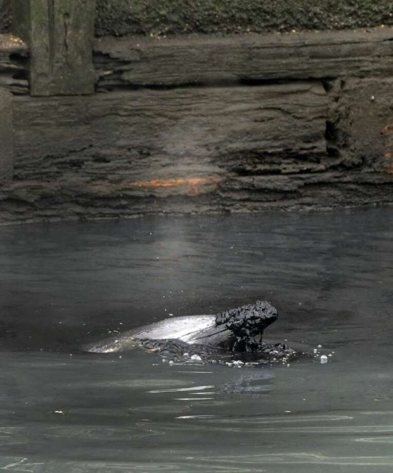 A dolphin surfaces in the Gowanus Canal with debris on its nose in the Brooklyn borough of New York Friday. Photo: Richard Drew